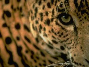 S095167-Jaguar-AnimalEyes-Closeup