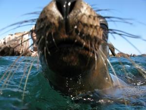 Harbor Seal, CA; Flickr WWF Travel